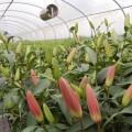 Lilies growing on Moorfield Flowers