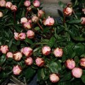 Peony Roses from Moorfield Flowers