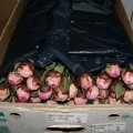 Peonies packed and ready to go